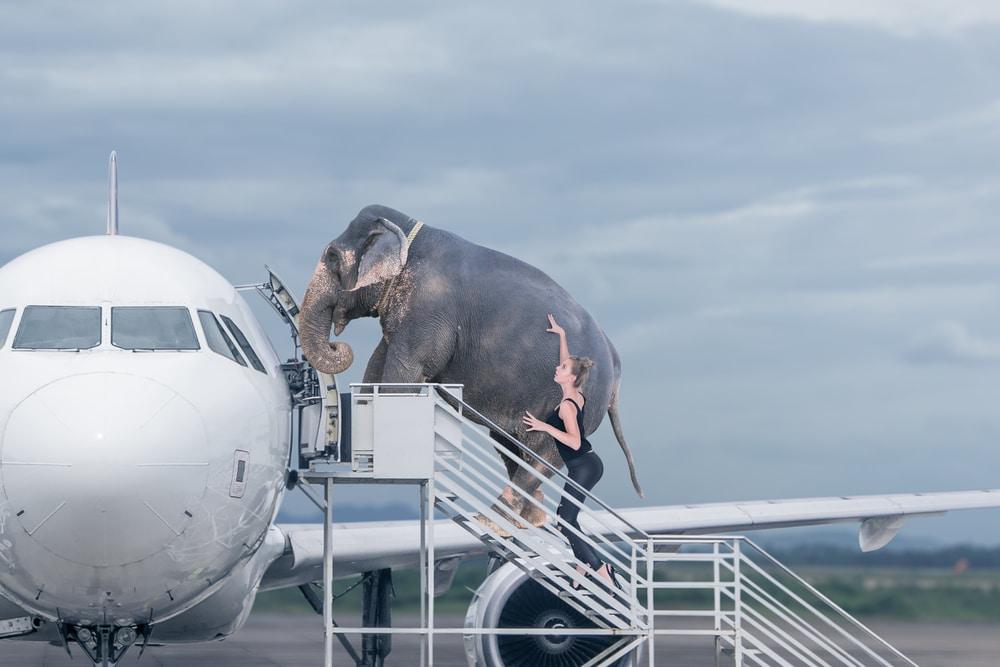 elefant-geht-in-ein-flugzeug
